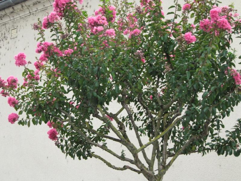 arbre a fleur rose en ete