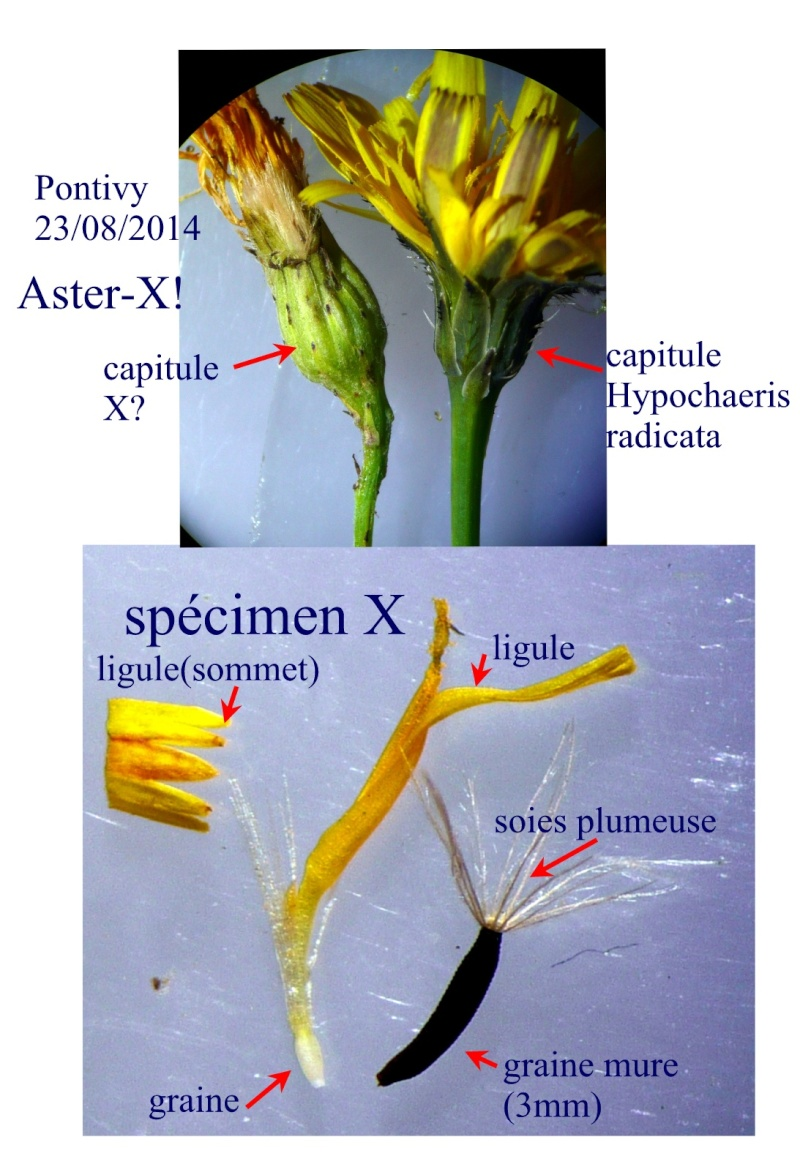 Aster-X?=[Leontodon taraxacoides] Aster-10