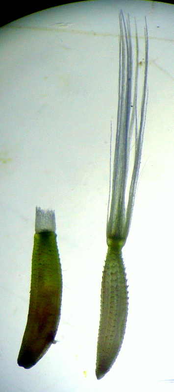 Aster-X?=[Leontodon taraxacoides] P1070812
