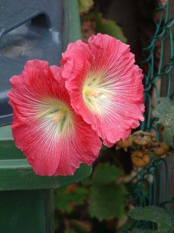 rose tremière Www_ki10