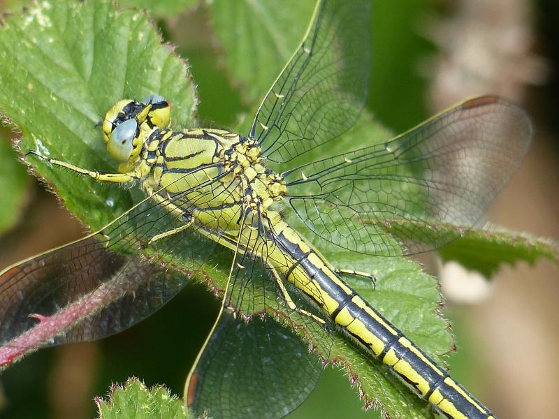 Gomphus pulchellus P1010811