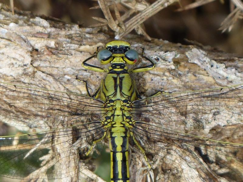 Gomphus pulchellus P1010920