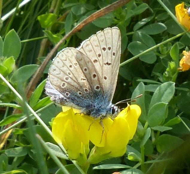 polyommatus icarus P1020110