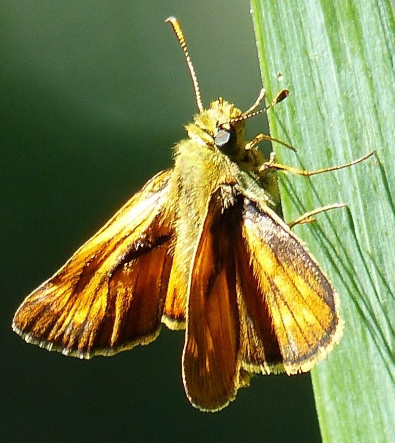 ochlodes sylvaticus P1020510