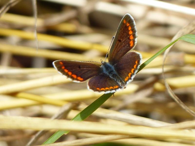 Aricia agestis  P1030415