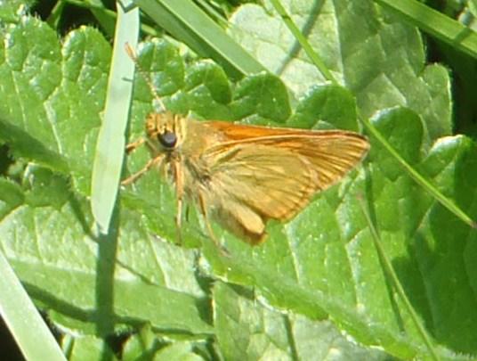 O. sylvanus P7120315
