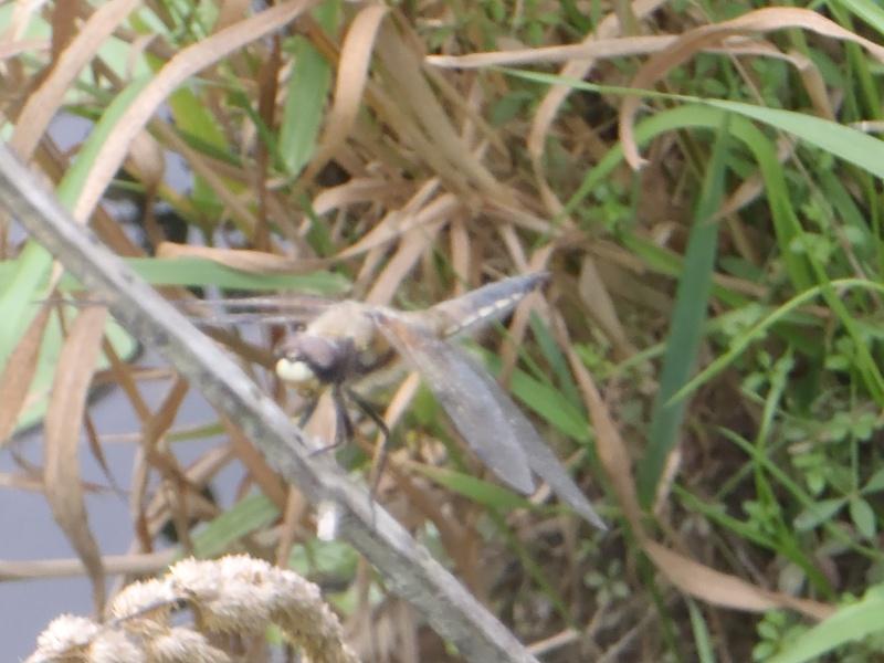 Libellula quadrimaculata P8030112