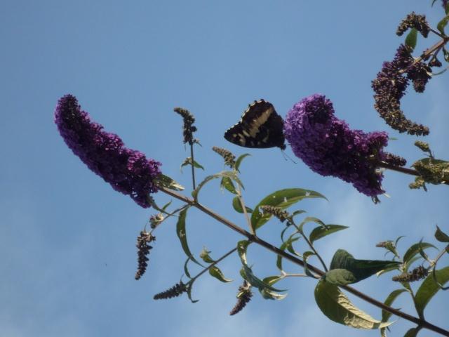 Buddléia ou arbres à papillons P1060910