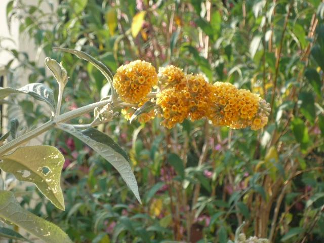 Buddléia ou arbres à papillons P1060911