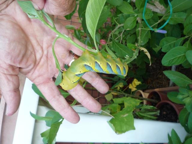 fil(et) à papillons - Page 2 P1070817