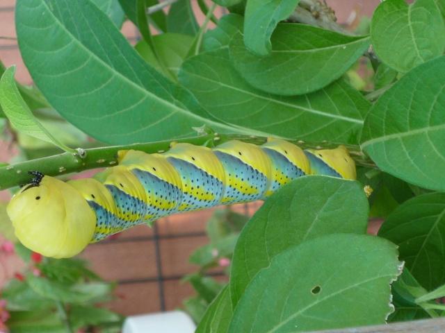 fil(et) à papillons - Page 2 P1070820