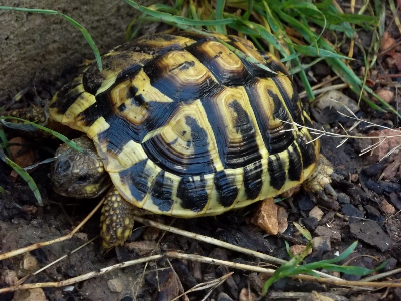 photos de mes tortues Raipon10