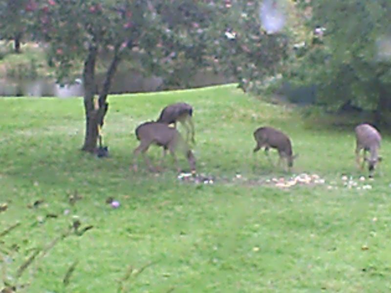 MY PET DEER Deer_210