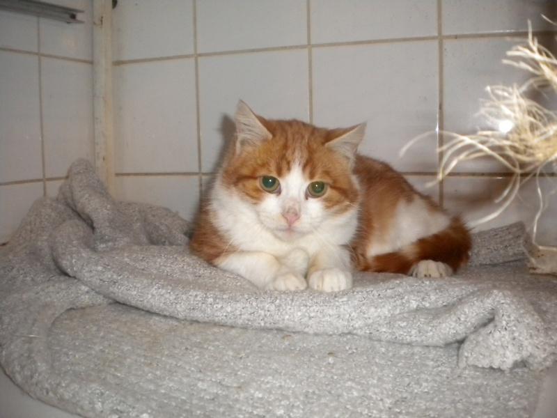 LYSSI (chat mâle roux et blanc) Sos_0813