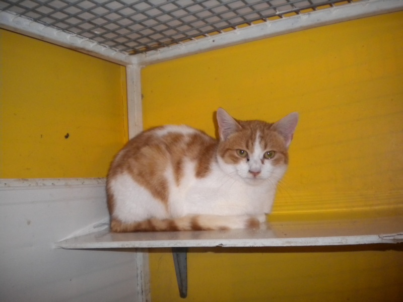 Félin (chaton roux et blanc) Sos_0915