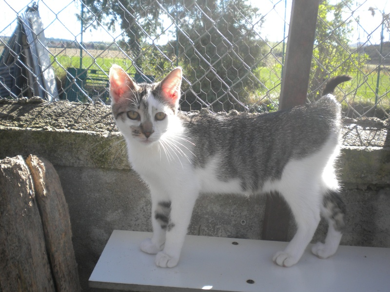 ELIXIR (chaton mâle tigré blanc et noir) Sos_1212