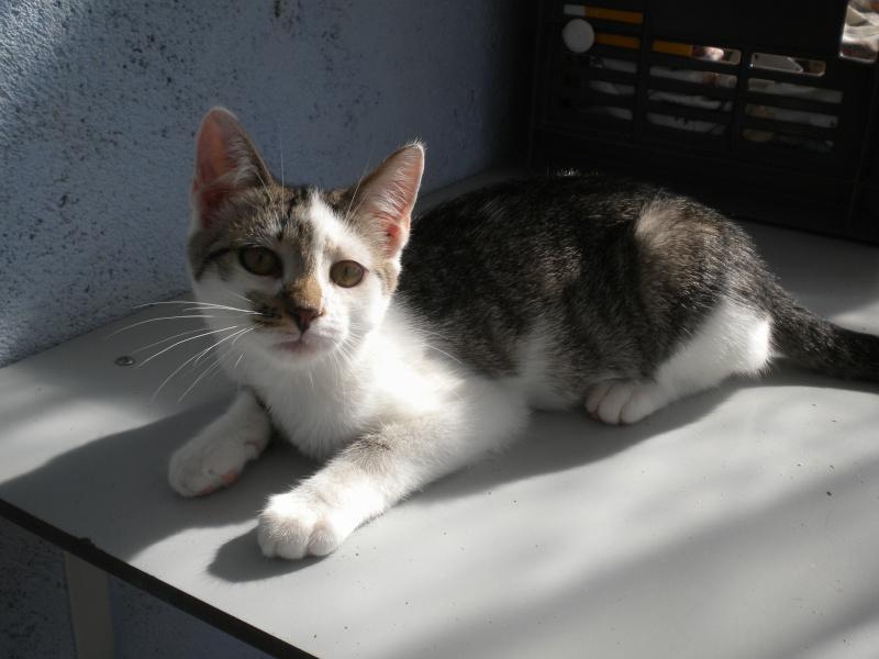 ELIXIR (chaton mâle tigré blanc et noir) Sos_1213