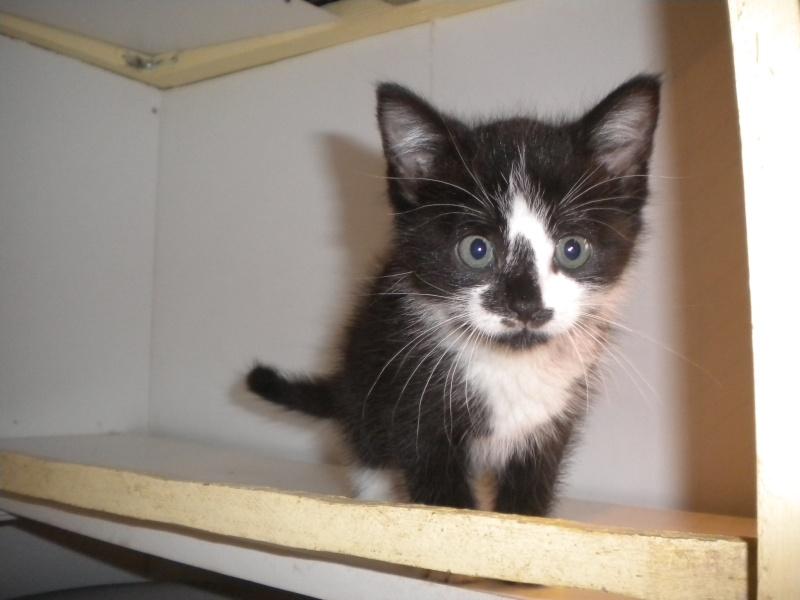 JUNGLE (chaton mâle noire et blanc) Sos_an23