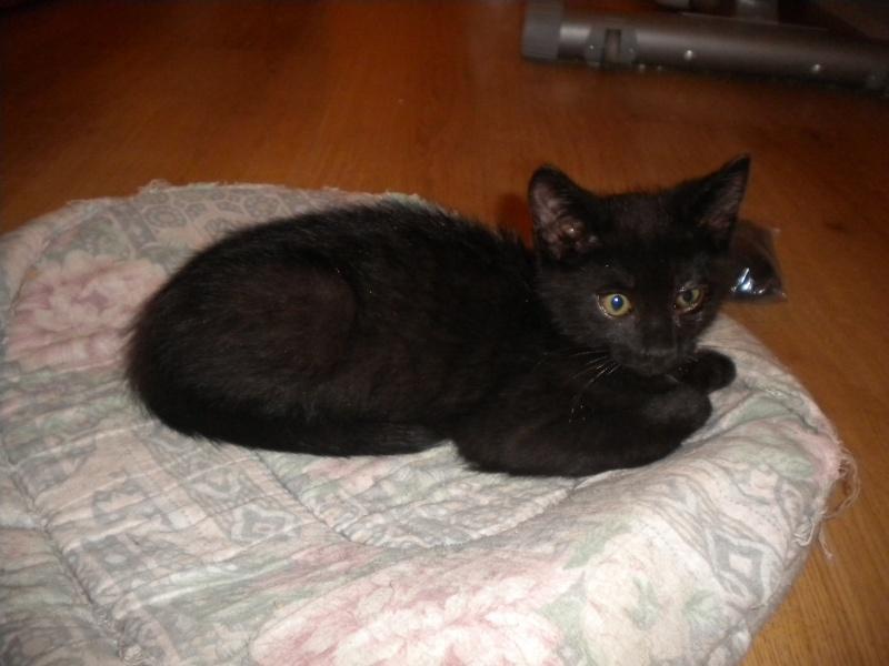 URANUS (chaton mâle noir) Réservé Sss_5611