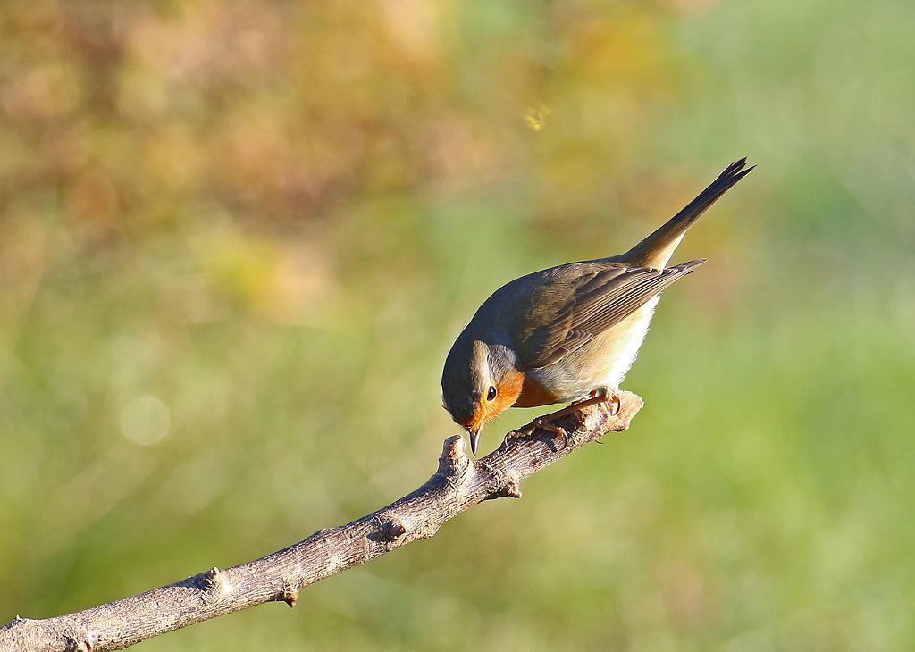 Oiseaux du jardin Re_7d212