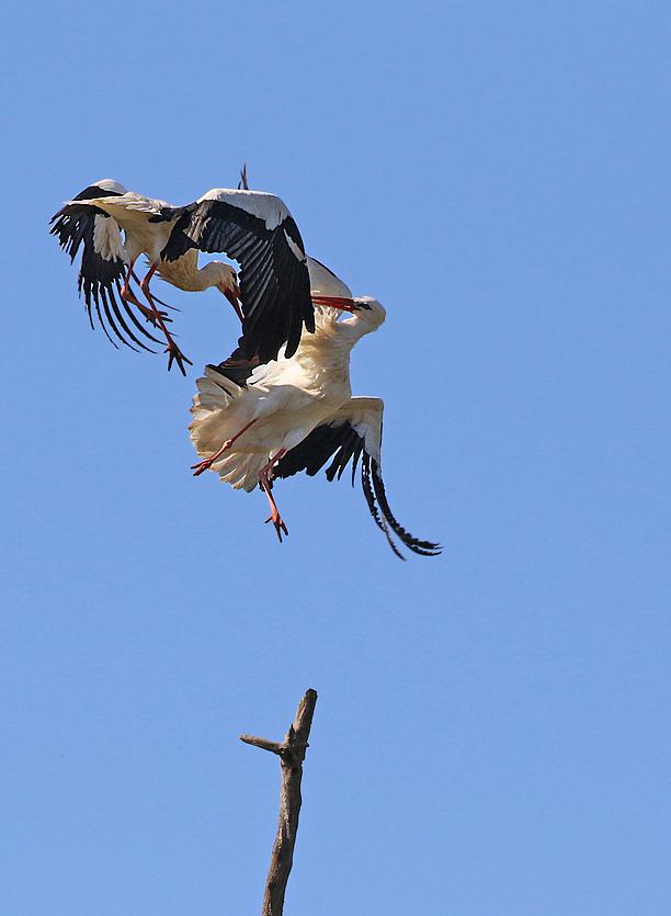 Les cigognes sédentaires du bord de Loire Re_7d319