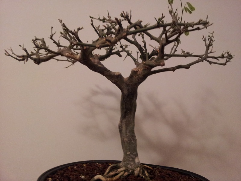 Brazilian Raintree Flat-top Progression. Lots of Pictures - please wait to load - Page 2 March_10