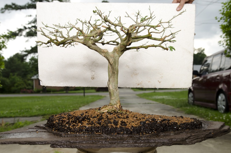 Brazilian Raintree Flat-top Progression. Lots of Pictures - please wait to load - Page 2 May_2012