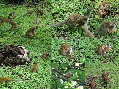 Images Grande Jungle - Page 2 Saimir11