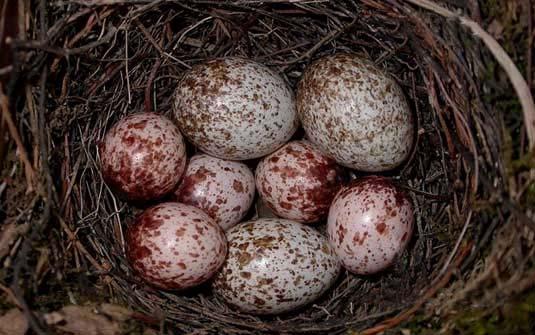 Filhotes de pássaro se comunicam entre si de dentro dos ovos, indica estudo 08662610