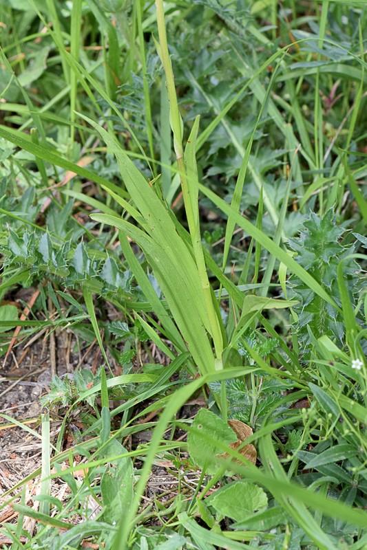 Orchis moucheron - Gymnadenia conopsea Dsc_0810