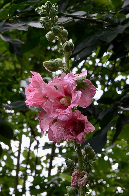Rose trémière - Alcea rosea Dsc_0820