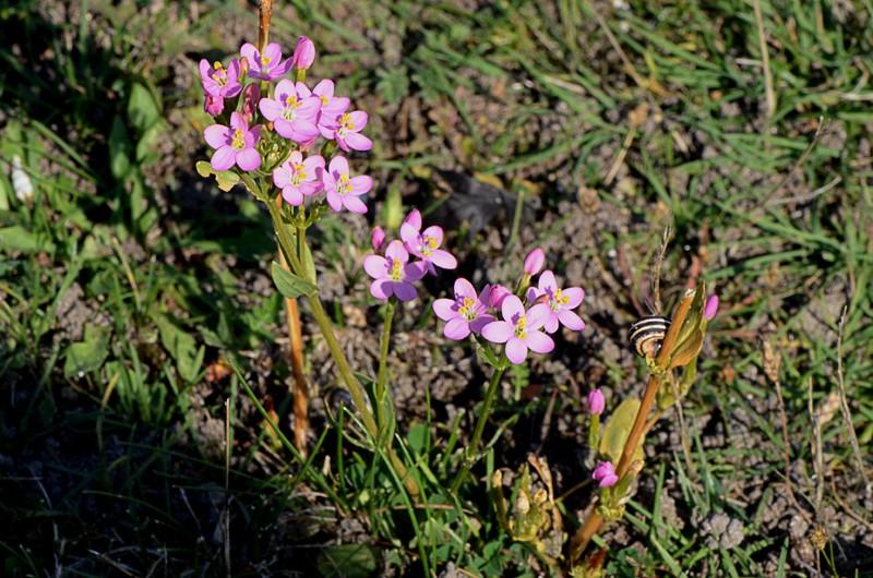 Centaurium erythraea - Petite centaurée commune Dsc_1212