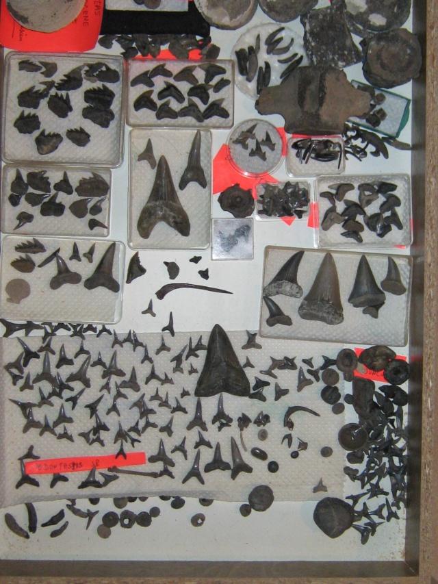 dent de squale Miocène - Page 2 Img_0312