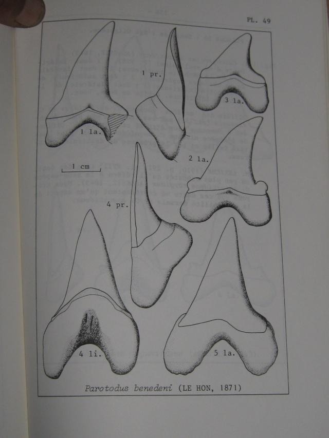 dent de squale Miocène - Page 2 Img_0314