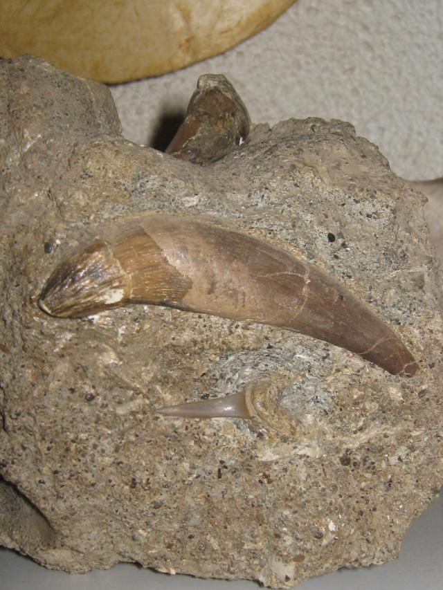 dent de squale Miocène - Page 2 Img_0316