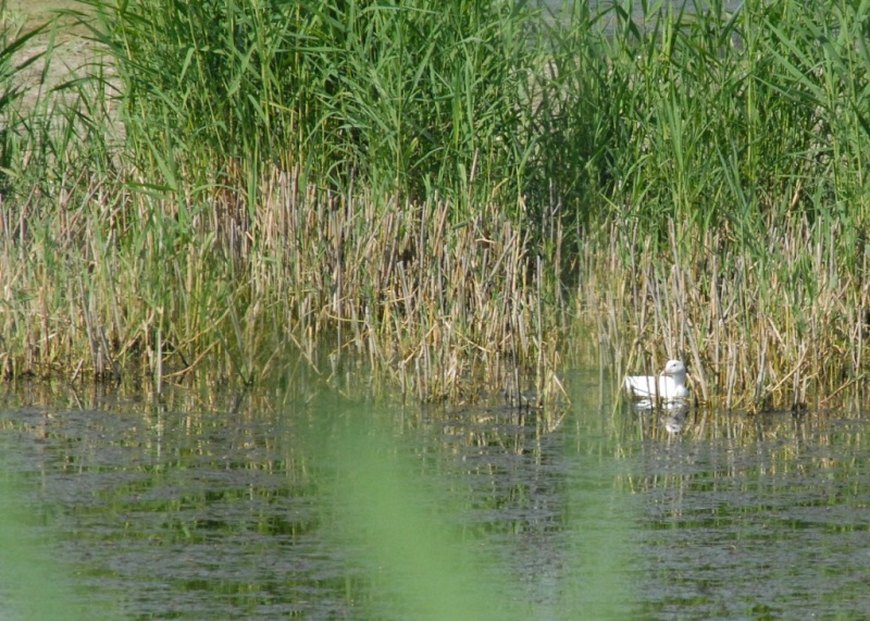 Foulque blanche Fulica10