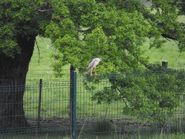 l'ennemis de nos bassin Heron11