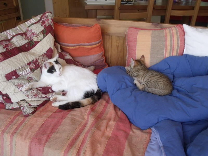 JUNO - tigré clair - (Jedy est adopté) - 05/2014  Dscf8410