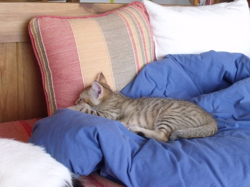 JUNO - tigré clair - (Jedy est adopté) - 05/2014  Dscf8411