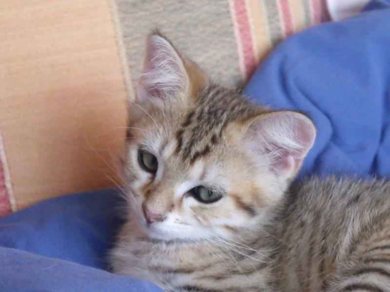 JUNO - tigré clair - (Jedy est adopté) - 05/2014  Dscf8412