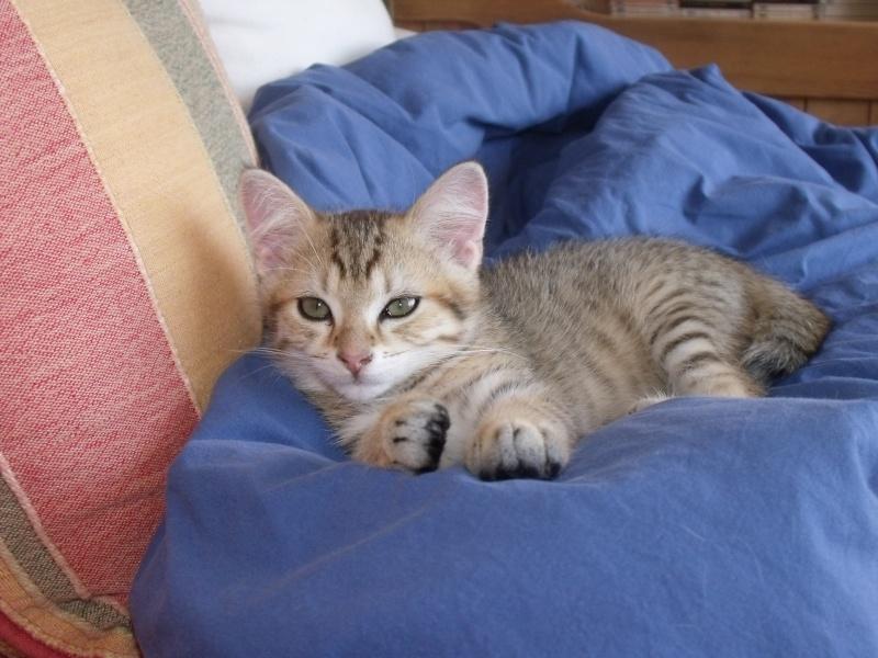 JUNO - tigré clair - (Jedy est adopté) - 05/2014  Dscf8414