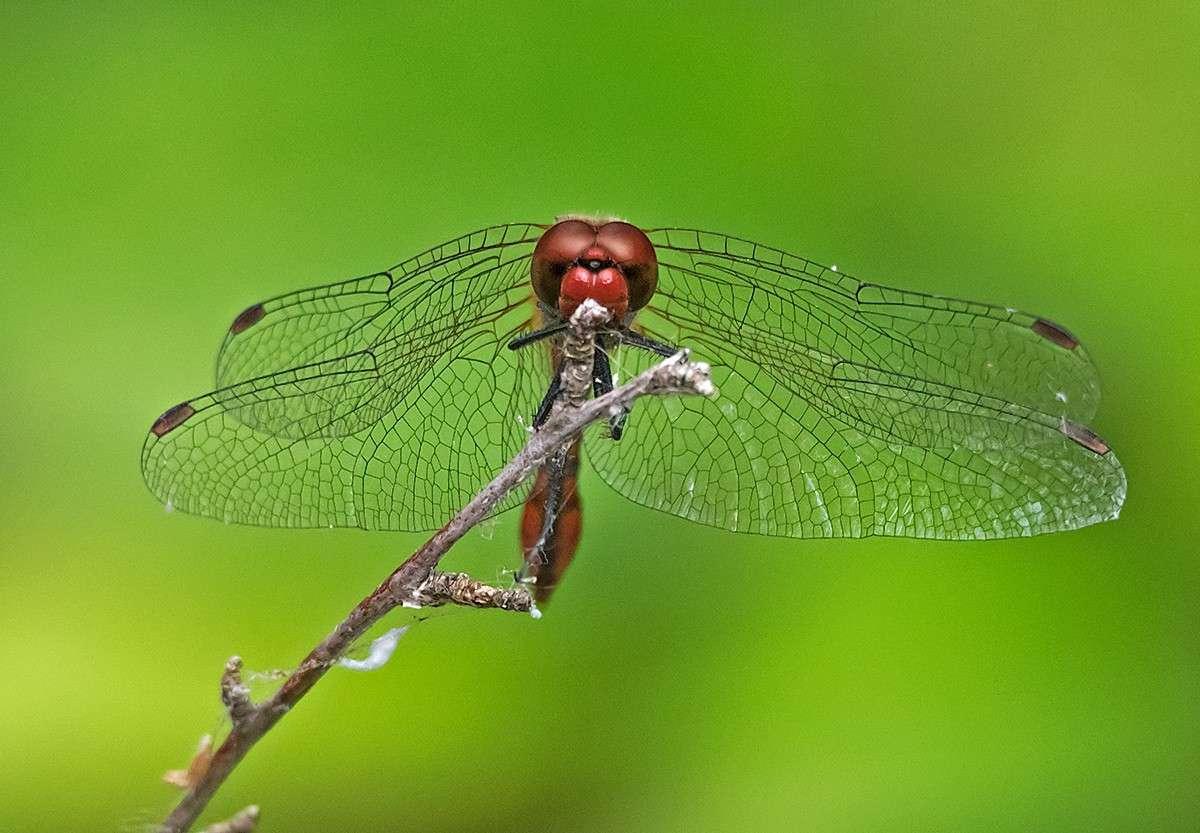 libellula  rossa P7200311