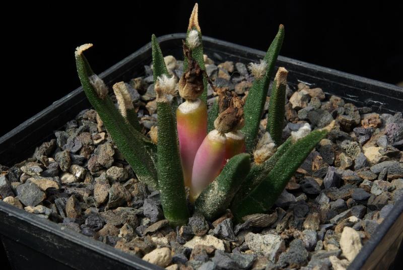Ariocarpus agavoides ssp. agavoides Imgp4715