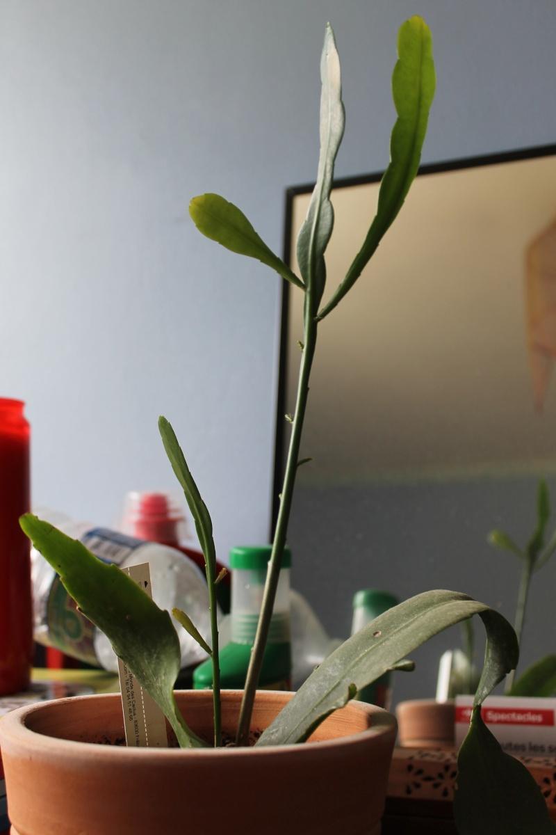 Mon Epiphyllum oxypetalum,....suite! - Page 2 10_jui10
