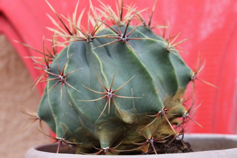 Mes cactus de fin Aout 2014! 7_sept10