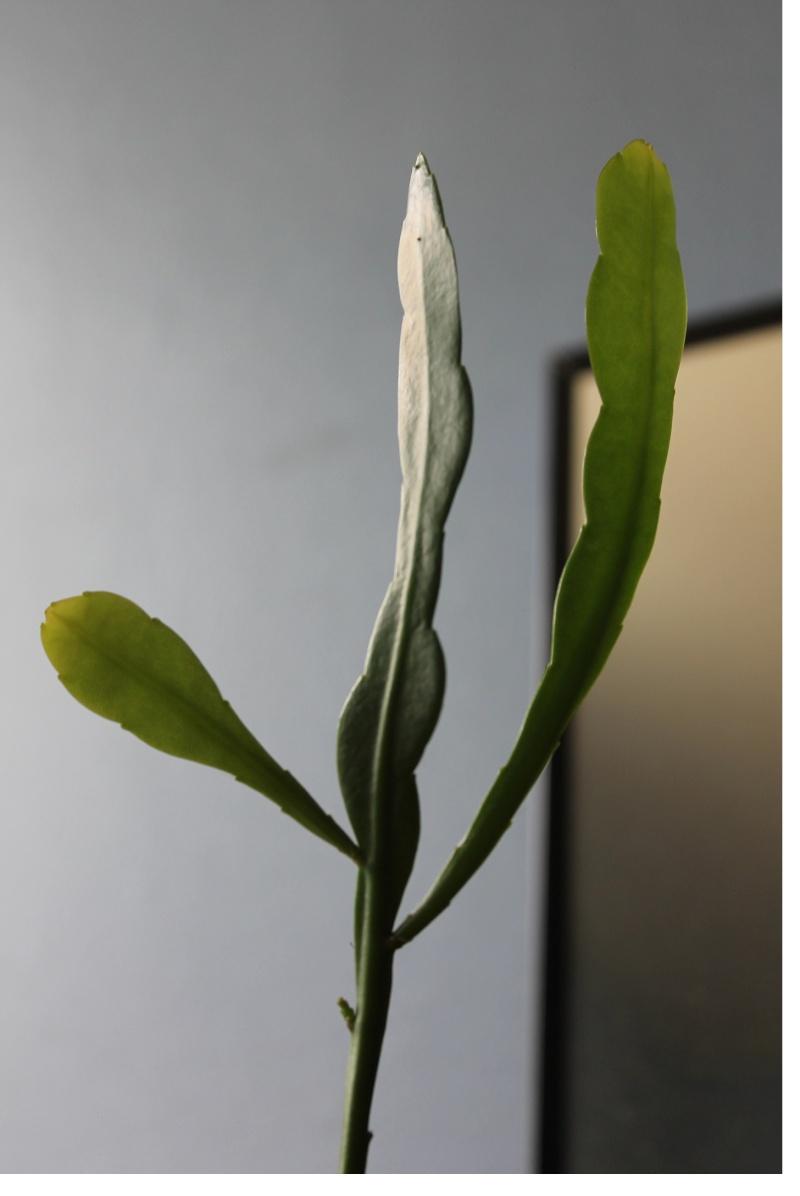 Mon Epiphyllum oxypetalum,....suite! - Page 2 Le_10_15