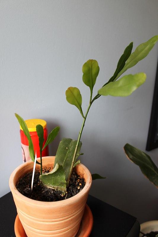 Mon Epiphyllum oxypetalum,....suite! - Page 2 Le_1er11