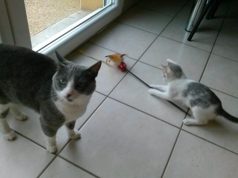 ASTUCE (chaton mâle)gris et blanc réservé 10314610