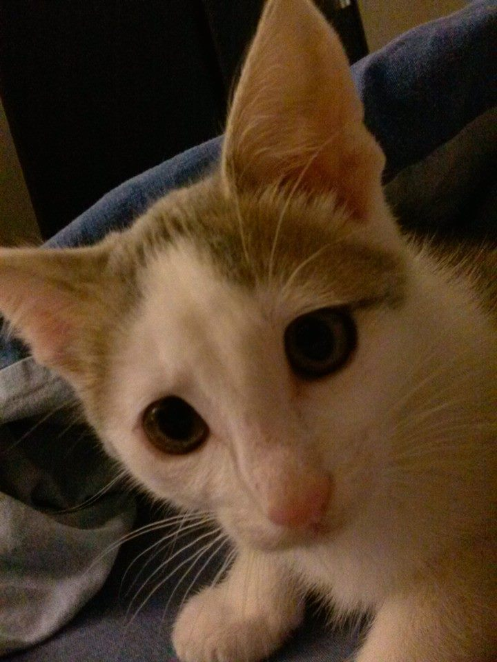 ASTUCE (chaton mâle)gris et blanc réservé 10367610