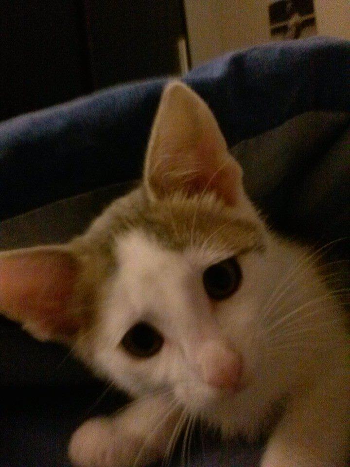 ASTUCE (chaton mâle)gris et blanc réservé 10414510